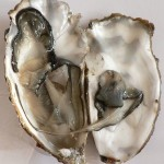 Oyster in open shell