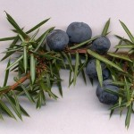 Juniper 'berries' on a branch