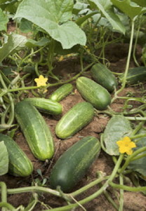 Cucumbers and Blossoms