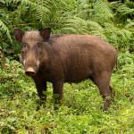Wild Boar (India)