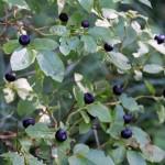 Huckleberries in the Wild