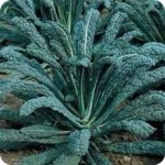 Black or Lacinato Kale