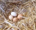 Chicken Eggs in Straw