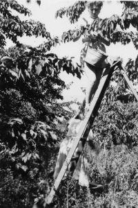 Anne Haug, Picking Cherries at Kurth Orchards