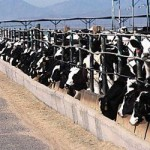 Dairy CAFO (Confined Animal Feeding Operation