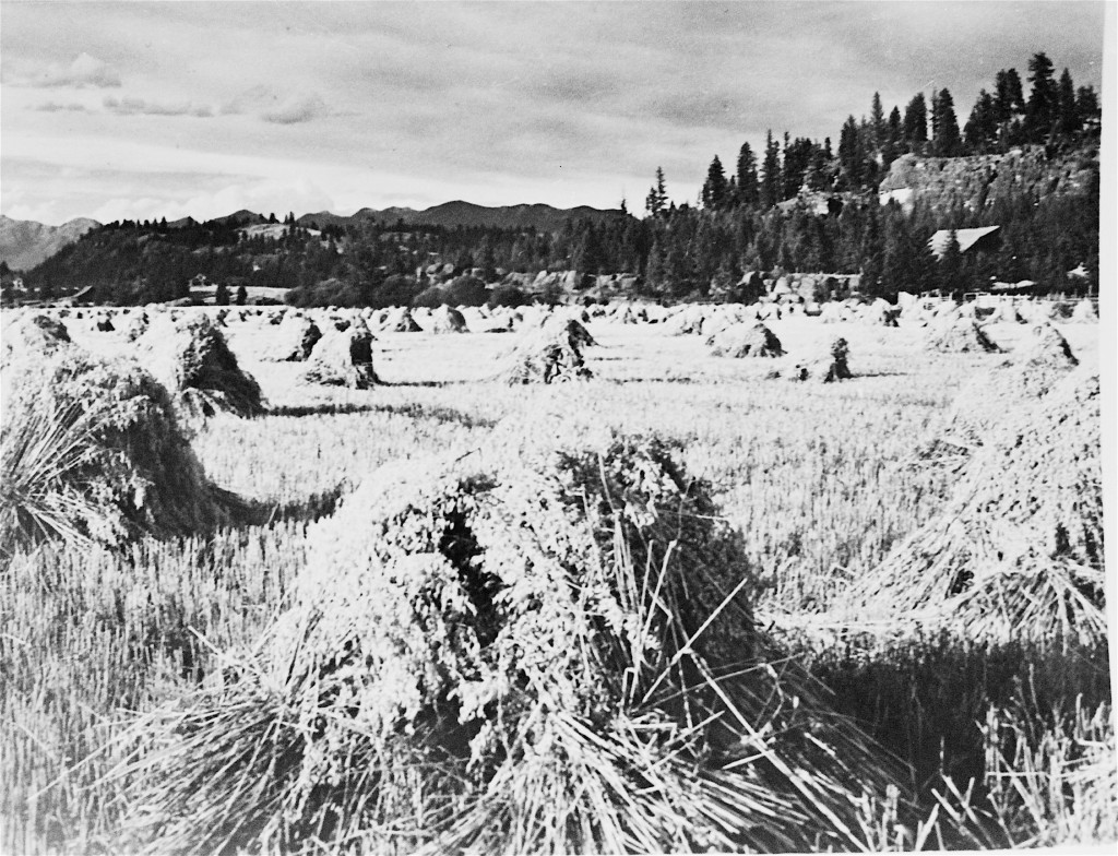 Wheat Shocks along Holt Dr., 1940s (Photo used with permission from M. Forbes at BACC/BMAH)