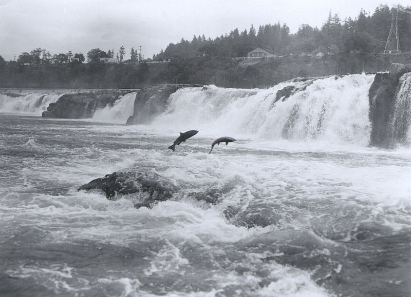 Salmon leaping Willamette Falls