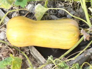 Butternut Squash, on the vine